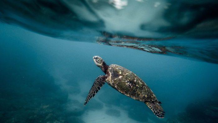 Resultado de imagen para TORTUGA marina se alimenta de AGUAS RESIDUALES