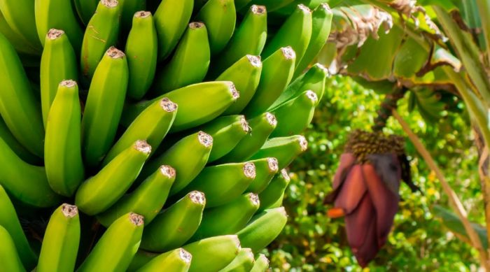 Publican medidas de protección para la producción de plátano y ...